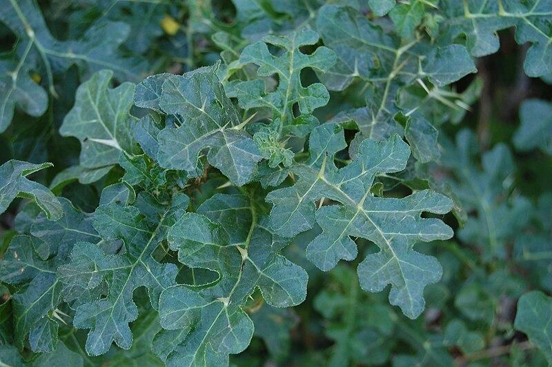 10 semi di solanum linnaeanum hepper p m l solanum for Pianta solanum