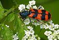 Soldier Beetle (Trichodes alvearius) (9128931170).jpg