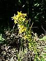 Solidago virgaurea subsp. virgaurea sl9.jpg