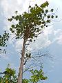 Somah or Cicada Tree (Ploiarium alternifolium) (15741879236).jpg