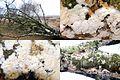 Some unknown white crust mushroom at NP Hoge Veluwe and its habitat, a fallen Birchtree at 7 Februari 2015 - panoramio.jpg