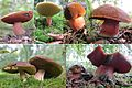 Some variations of a Boletus erythropus (Gewone heksenboleet) at Schaarsbergen forest - panoramio.jpg