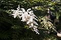 Sorbaria sorbifolia var stellipila 1.jpg