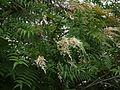 Sorbaria tomentosa (7789400740).jpg