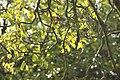 Sorbus domestica-Cormier.jpg