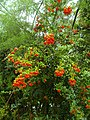 Sorbus intermedia 2014-08 (3).jpg