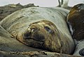 Southern Elephant Seal 03(js).jpg