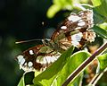 Southern White Admiral. Limenitis reducta - Flickr - gailhampshire (1).jpg