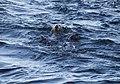 Southern sea otters (12339).jpg