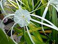 Spider lily32.jpg