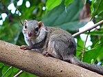 Spitzhörnchen.JPG