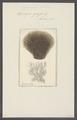 Spongia grossa - - Print - Iconographia Zoologica - Special Collections University of Amsterdam - UBAINV0274 112 04 0007.tif