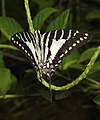 Spot Swordtail Graphium nomius UP by Dr. Raju Kasambe DSCN6948 (6).jpg