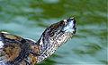 Spotted-legged Turtle (Rhinoclemmys punctularia) (10532094705).jpg