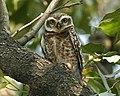 SpottedOwlet (Athene brama) - Flickr - Lip Kee.jpg