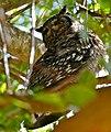 Spotted Eagle Owl (Bubo africanus) male (32154781773).jpg