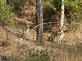 Spotted deer Fawn n Mother.jpg