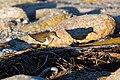 Spotted sandpiper (38329342005).jpg