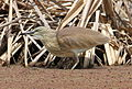 Squacco Heron, Ardeola ralloides at Marievale Nature Reserve, Gauteng, South Africa (15456522888).jpg