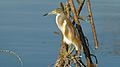 Squacco Heron (Ardeola ralloides) (6017486439).jpg