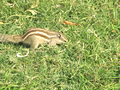 Squirrel at Agra Fort 2.jpg
