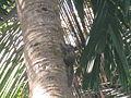 Squirrel climbing coconut tree thottumukkom.JPG