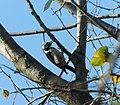 Srednji detlić (Leiopicus medius) Middle Spotted Woodpecker.jpg