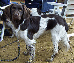 A brown and white Stabyhoun