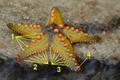 Starfish 08 (paulshaffner) tags added.png
