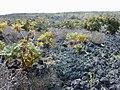 Starr-010714-0010-Bocconia frutescens-infestation in lava-Auwahi-Maui (24237430000).jpg