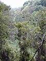Starr-030405-0146-Charpentiera obovata-habit-Makawao Forest Reserve-Maui (24001830314).jpg