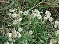 Starr-061017-1195-Conyza bonariensis-habit-Cove Park Kihei-Maui (24841525436).jpg