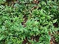 Starr-090521-8344-Fraxinus uhdei-seedlings-Polipoli-Maui (24329481353).jpg