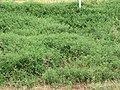 Starr-090707-2298-Solanum lycopersicum-large patch-Waikapu-Maui (24968843255).jpg