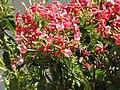 Starr-090818-4473-Quisqualis indica-flowers-Kihei-Maui (24946201486).jpg