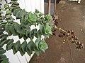 Starr-110218-1569-Crassula perforata-flowering habit-Ulana St Makawao-Maui (24449889633).jpg