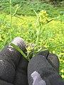 Starr-110301-1770-Brassica nigra-flowers-Kula-Maui (24449900933).jpg