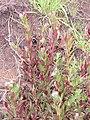 Starr-120501-5456-Epilobium ciliatum-flowering habit with E billardierianum subsp cinereum-Polipoli-Maui (25142087545).jpg