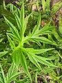 Starr-120504-5515-Tacca leontopetaloides-leaf-Maui Nui Botanical Garden-Maui (24515328333).jpg
