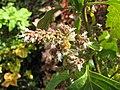 Starr-121108-0704-Pogostemon cablin-flowers with bee Apis melifera-Pali o Waipio-Maui (25169592716).jpg