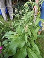Starr-140518-0539-Symphytum officinale-flowering habit-Hamana Pl Haiku-Maui (25242636785).jpg