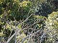 Starr-141229-3205-Cinnamomum camphora-habit with chestnut munia-Hoku Nui Piiholo-Maui (25249011255).jpg
