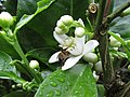 Starr-150301-0364-Citrus sinensis-Washington navel flower with honey bee-Hawea Pl Olinda-Maui (25146920282).jpg