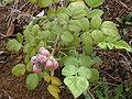 Starr 010423-0039 Rubus niveus f. a.jpg