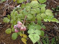 Starr 010423-0039 Rubus niveus f. a