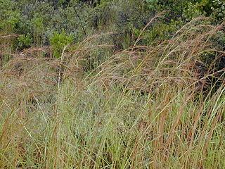 <i>Hyparrhenia</i> genus of grass