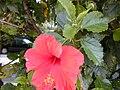 Starr 030415-0030 Hibiscus rosa-sinensis.jpg