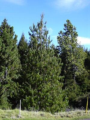 Pinus patula - Image: Starr 031214 0025 Pinus patula