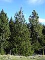Starr 031214-0025 Pinus patula.jpg