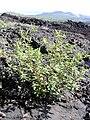 Starr 040410-0102 Amaranthus spinosus.jpg